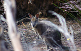 Tammar Wallaby taking refuge in roadside vegetation